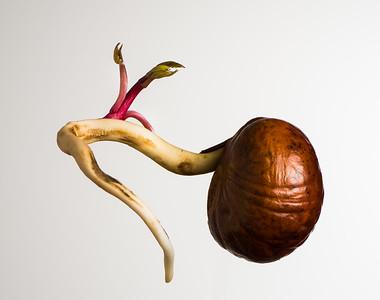Germinating Buckeye Seed