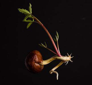 Germinatin Buckeye Seed