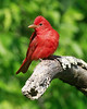 Summer Tanager, April 2012