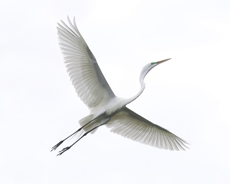 Great Egret, March 2012