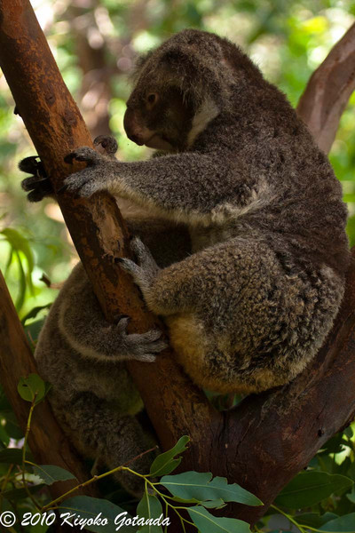 Koalas on Magnetic Island in NSW, Australia