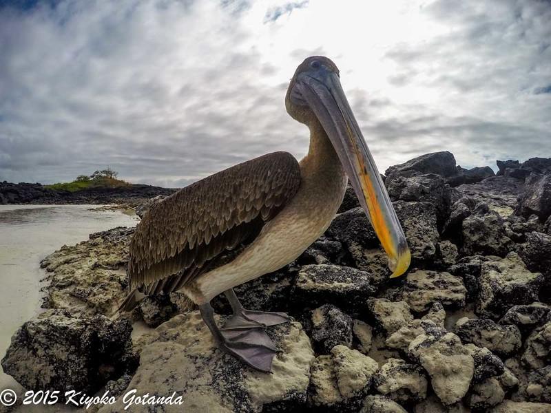 Brown Pelican, Galápagos Islands