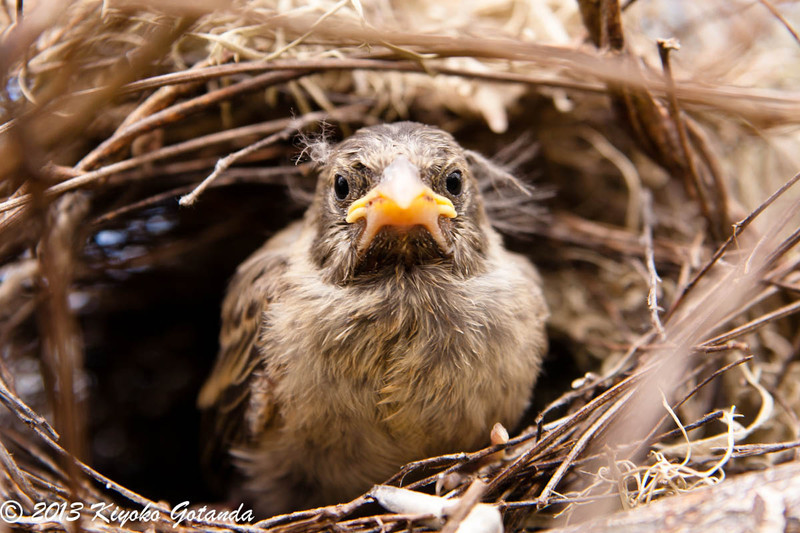Medium Ground Finch fledgling, Galápagos Islands