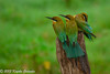 Bee-Eaters in Sri Lanka