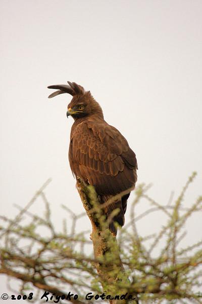 A male, long crested eagle