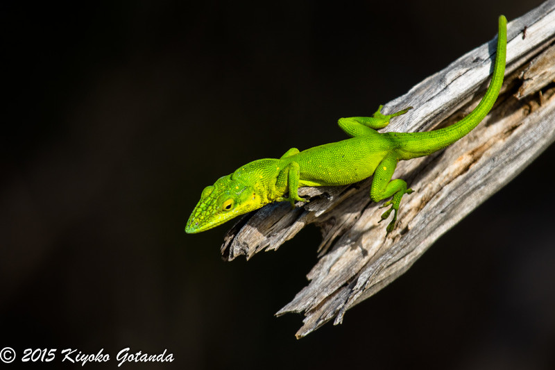 Anoles Lizard in the Bahamas