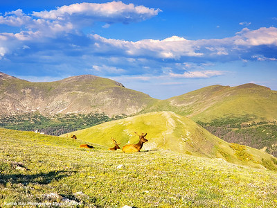 Elk, Alpine Ridge Trail, Alpine Visitor Center, Rocky Mountain National Park, Colorado