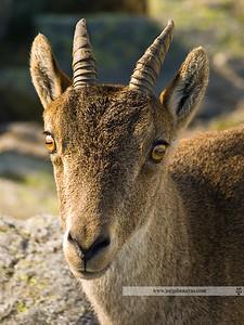 Cabra hispánica (Gredos)