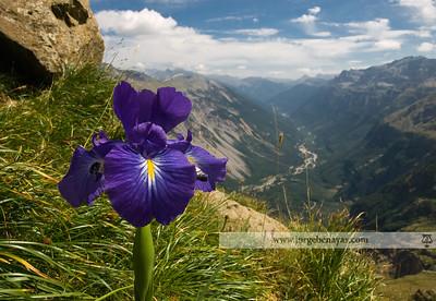Iris latifolia (Valle de Pineta)