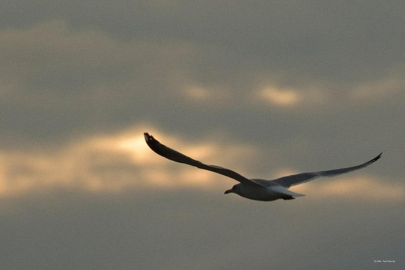 Barnegat Light Gull