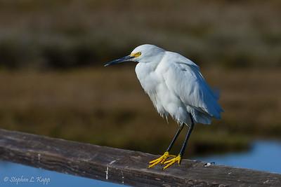 Snowy Egret - Perched