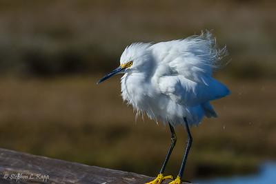 Snowy Egret - Bad Hair Day