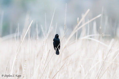Red-Winged Blackbird Scanning the Scene