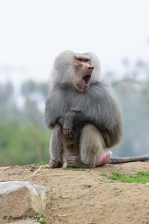 Hamadryas Baboon - Yawning Series