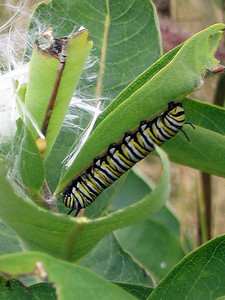 MONARCH CATERPILLAR (2005)