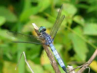 SWIFT LONG-WINGED SKIMMER (2005)