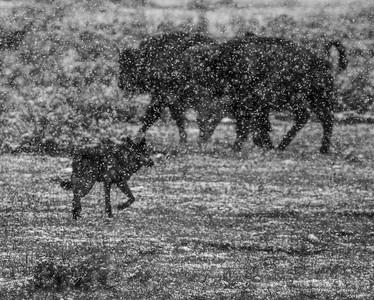 Bison & Wolf