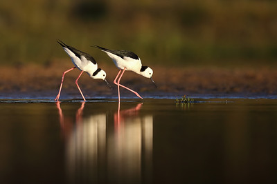 White-Headed Stilt (Himantopus leucocephalus) feeding.