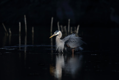 Great Blue Heron (Ardea herodias) adult feeding
