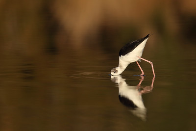 Peeking Stilt