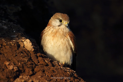 Nankeen kestrel (Falco cenchroides) female