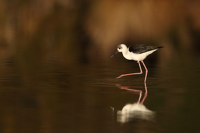 White-Headed Stilt (Himantopus leucocephalus) immature