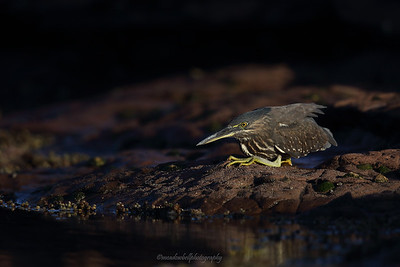 Striated Heron (Butorides striata) juvenile