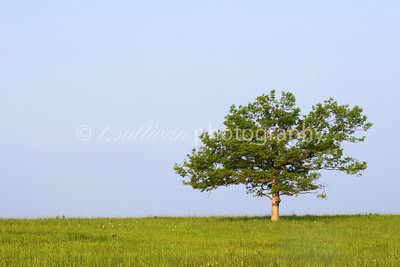 Spring tree at Big Meadows in Shenandoah National Park.