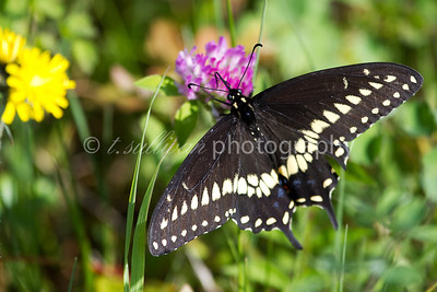 A black swallowtail butterfly rests on a flower in Big Meadows at Shenandoah National Park.