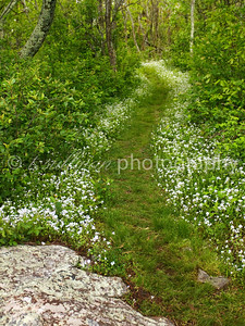 Loft Mountain trail lined with wildflowers