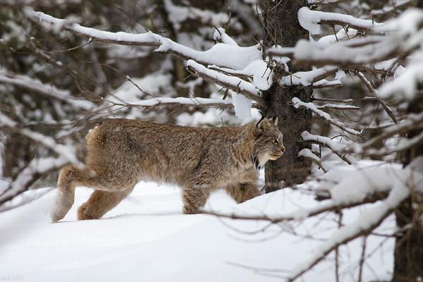 Canada Lynx - Spray Lakes, Alberta