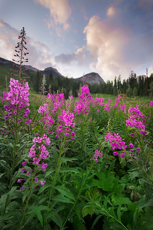 Emerald Fireweed - Emerald lake, British Columbia