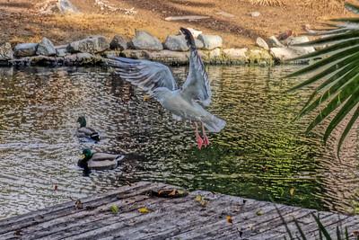 Gull of Grace; San Diego, CA, 2016