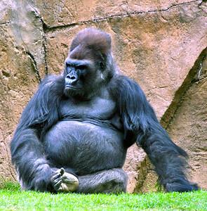 WAK_Gorilla