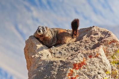 Marmot, Rocky Mountains National Park
