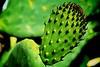 Sicilian Prickly Pear Cactus