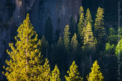 Trees in morning light, Yosemite Valley