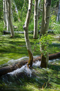 Convict Creek flowing through aspen groves at high water, June 2016.