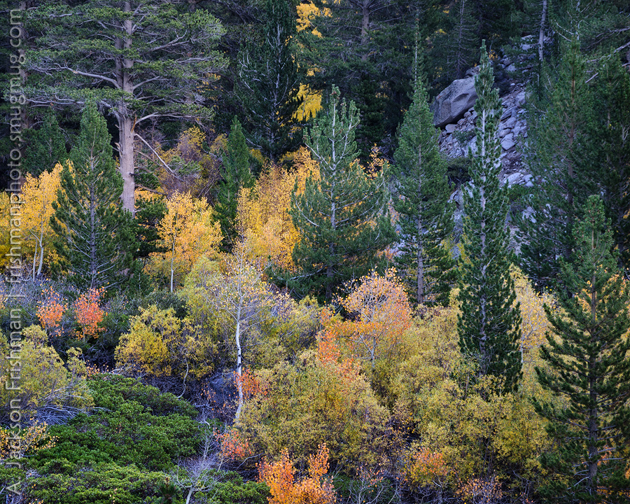 Autumn forest, John Muir Wilderness, California, October 2015.
