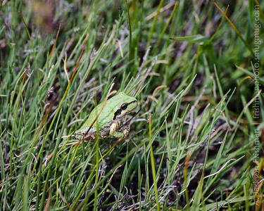 Sierran treefrog (Pseudacris sierra) in meadow at 10,000 feet in the Golden Trout Wilderness, August 2017.