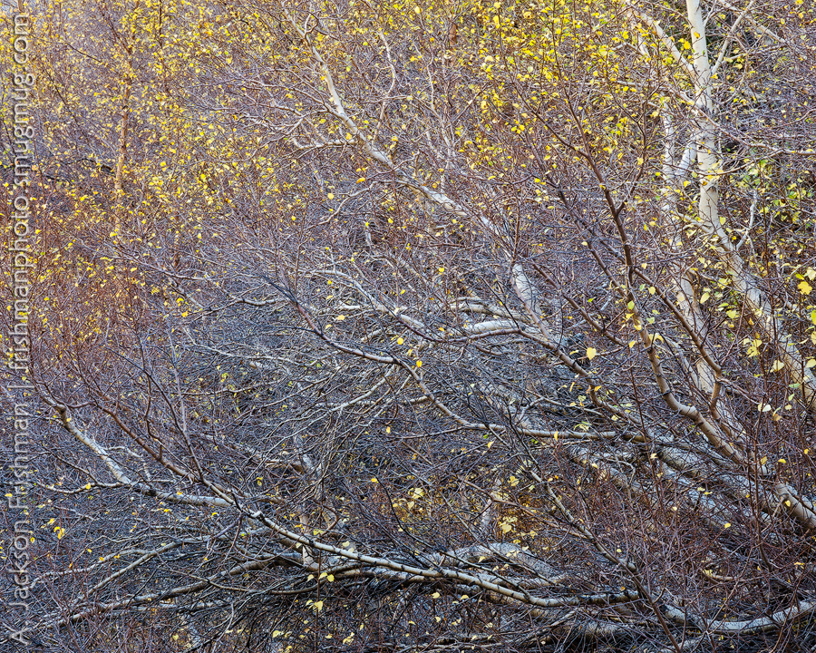 Autumn branches, John Muir Wilderness, Sierra Nevada, California, October 2015.
