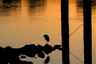 Egret at sunrise, Marina Park, San Leandro, CA