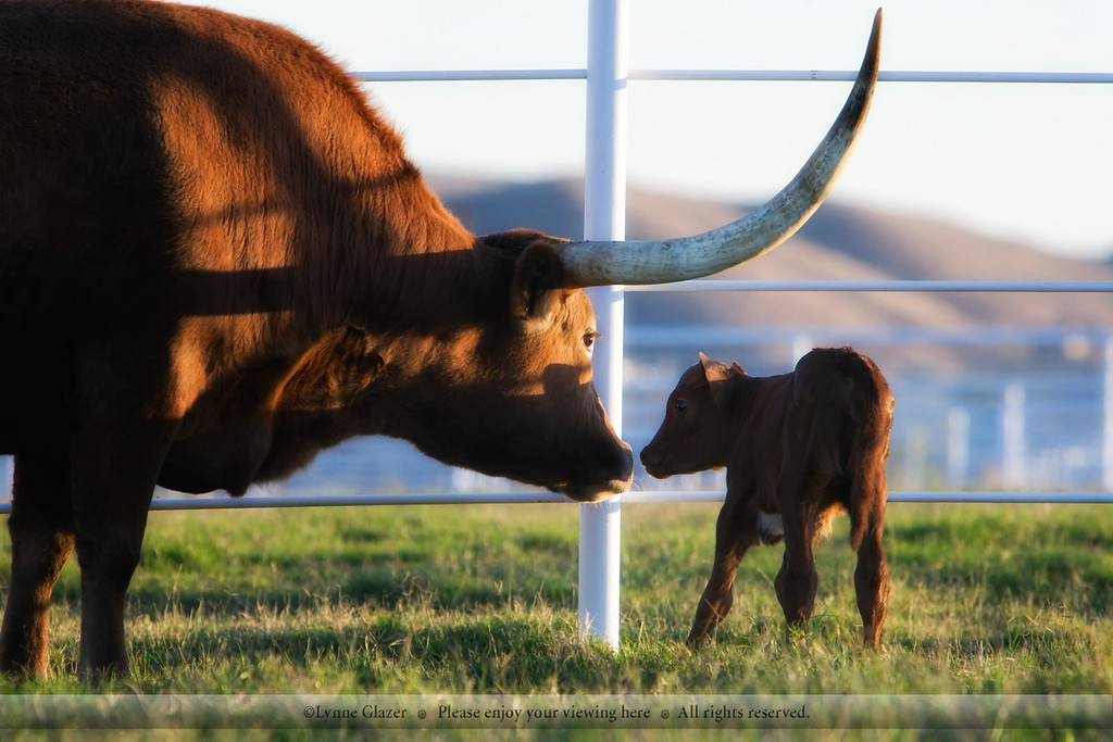 Newborn Texas longhorn heifer Ariel greets her mother Star Dust.