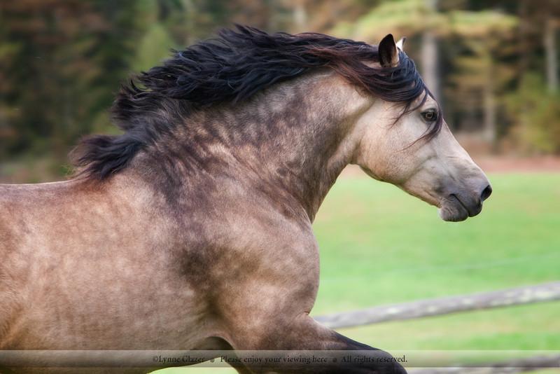 Gallod Auryn, Section D Welsh Cob stallion.