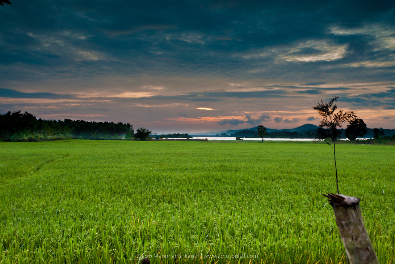 Paddy fields near home (On Thr.halli road)