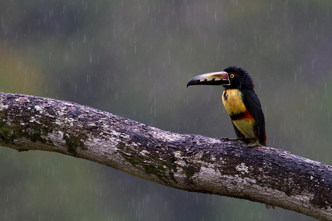 Tucancillo collarejo (Pteroglossus torquatus) bajo la lluvia