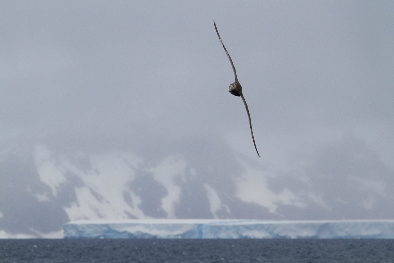 A Giant Petrel flies on Antarctic sound waters.