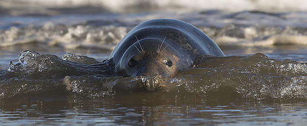 See Grey Seals Gallery