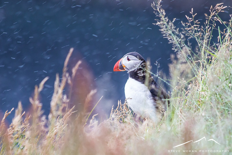 Lone puffin on the Dyhrolaey cliffs.