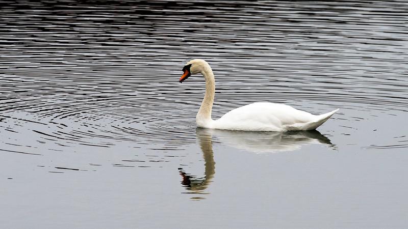 Swan - Rockland Park, NY